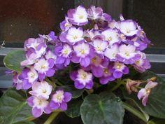 VOCÊ PODE FAZER DE DOIS JEITOS       PRIMEIRO:     Para fazer a muda de uma violeta você precisa apenas retirar uma das folhas sadi...