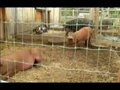 Understanding & Raising Pigs : Pig Care