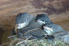 4th baby just visible on the far left ..ready to leave the nest