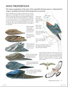 Been a fan of John Muir Laws' work since being a student of Science Illustration and having been present at not one but two guest lectures of his. For beginning, intermediate and advanced birders, I highly recommend anything he's published.