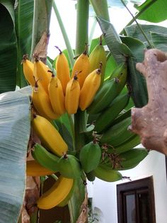 Banana Tree - Marrakech Fruit Plants, Fruit Trees, Trees To Plant, Fruit And Veg, Fruits And Vegetables, Fresh Fruit, Exotic Fruit, Tropical Fruits, Garden Of Allah