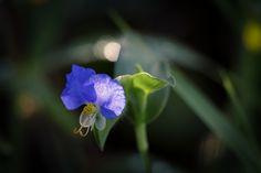 Dayflower by Masaru Kuroda on 500px