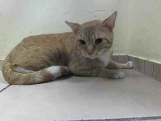 SAFE! TO BE DESTROYED 4/11/14 Brooklyn Center  My name is KITTY. My Animal ID # is A0995049. I am a male org tabby and white domestic sh mix. The shelter thinks I am about 1 YR 1 MO.  OWNER SUR on 03/28/2014 from NY 11233 OWN EVICT…