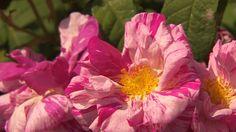 Carol Klein celebrates an ancient rose,Rosa mundi.
