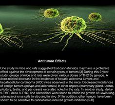 Cannabis - Anti Tumor Effects #cannabis #thc #cbd #marijuana #health #medical #cancer #medicalmarijuana #treatment