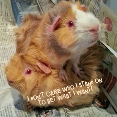 Guinea Pig Shaming...LOL