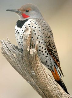 Northern flicker - they are such a nuisance!--drumming on the metal top our our chimney and screeching like King Kong calling in the jungle.   Click on the link to Woodpecker Control Repellants and other products for woodpecker/bird control or removal that I'm thinking about using.