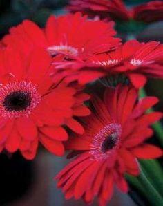 Cuadro Red Gerbera Daisies I