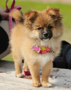 Adorable Dogs That Actually Look Like Tiny Teddy Bears - 28 adorable dogs that actually look like tiny teddy bears