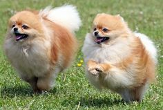 Pomeranians are typically a very friendly and lively breed of dog. They love to be around their owners and are known to be protective of them. They bond quickly with their owners, and can suffer from separation anxiety if not trained to spend time alone. Pomeranians are alert and aware of changes in their environment and barking at new stimuli can develop into a habit of barking excessively in any situation.