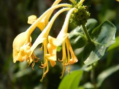 honeysuckle - as kids, we loved to drink the sweet syrup :)