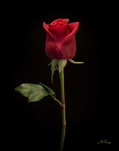 The Red Rose by Martin Varga on 500px
