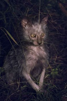 """The Lykoi is a breed of cat, a natural mutation of the domestic shorthair. The Lykoi was developed in Vonore, Tennessee and is said to resemble a werewolf. The word """"lykoi"""" roughly means """"wolf"""" in Greek. Crazy Cat Lady, Crazy Cats, Lykoi Cat, Werewolf Cat, Animals And Pets, Cute Animals, Funny Animals, Warrior Cats, Beautiful Cats"""