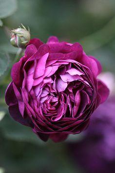 Gallica Rose: Rosa 'Ombrée Parfaite' (France, 1823).