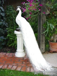 White Peacock - white is created by perfectly blending the 3 primary colors:   red, yellow, & blue...