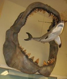 Megalodon compared to a modern day Great White Shark - 60 Jarring Nature Photos Species Of Sharks, Megalodon Shark, Dinosaur Fossils, Scary Places, Extinct Animals, Prehistoric Creatures, Great White Shark, Ocean Creatures, Sea Monsters