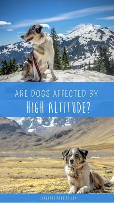 Teaching your dog is about building your relationship with your pet dog as well as setting up boundaries. Be firm but consistent and you will notice impressive results in your dog training efforts. Australian Shepherds, Blue Merle, Husky, Dog Friendly Hotels, Hiking Dogs, Dog Travel, Travel Tips, Travel Ideas, Travel Destinations