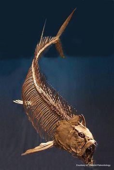 Fosil - pez carnívoro gigante  conocido como Xiphactinus - 17 pies de largo