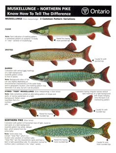 Have had a ton of discussions with various fishermen about spotting the differences between pike and muskie. I've even been told that the pike I've caught are Pike Fishing, Fishing Rigs, Bass Fishing Tips, Going Fishing, Trout Fishing, Fly Fishing, Fishing Knots, Fishing Stuff, Women Fishing