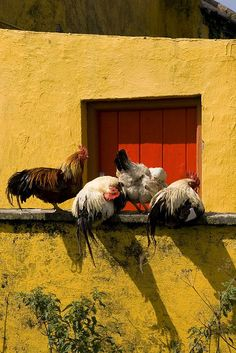 Chickens enjoying the sunshine.
