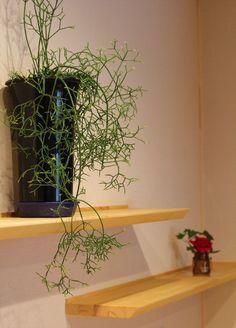 棚から流れるグリーン 人気の観葉植物 リプサリス