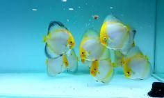 Diskus Aquarium, Tropical Fish Aquarium, Freshwater Aquarium Fish, Aquariums, Black Goldfish, Fish Tank Design, Discus Fish, Fishing World, Fish Care