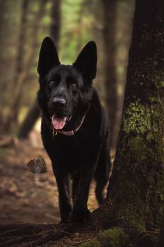 Wicked Training Your German Shepherd Dog Ideas. Mind Blowing Training Your German Shepherd Dog Ideas. Black German Shepherd Puppies, Black Shepherd, Black German Shepherd Dog, German Shepherds, Big Dogs, Cute Dogs, Dogs And Puppies, Doggies, Malinois Dog