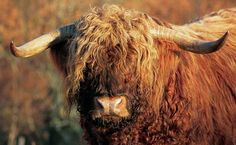 Highland, British cattle...saw these in the Highlands of Ireland. So neat!