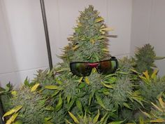 Growing Weed for Dummies: 10 Simple Steps to Get You Started 7