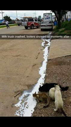 A milk truck had an accident shortly afterwards . Source by grimmdagmar videos wallpaper cat cat memes cat videos cat memes cat quotes cats cats pictures cats videos Animals And Pets, Funny Animals, Cute Animals, Safari Animals, Funny Animal Pictures, Best Funny Pictures, Funny Photos, Funny Images, Funny Pix