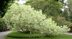 Fringe Tree, Heritage Museum and Gardens