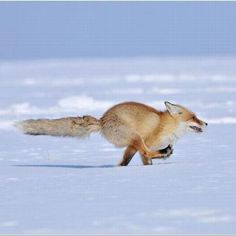 Red Fox in action on the snow...