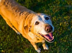 Guest author,John Devlin and owner -of Dogsbarn.comout of the UK, provided this educational post about Shallow Breathing in Seniors and when to worry. I was thrilled to partner with him on this piece for the blog since it's a topic pet parents often ask themselves. About John: Husband, father and avid dog lover. Currently the …