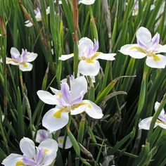 Dietes grandiflora. The white will soften the bright pinks and oranges and the yellow connects with the Strelitzia