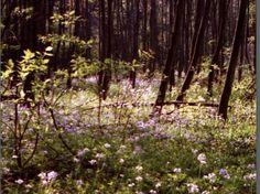 Wiesenschaumkraut im Wald, Hackenbroich - Foto: S. Hopp