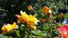 Rose del mio giardino