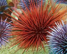 URCHIN EXPANDING | DAVE RUDIE — Patternity