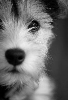 Terrier puppy.