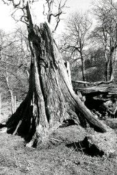 black and white old tree
