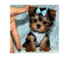 Teacup Yorkie Puppies-Dad 2.5 lbs Mom 4 lbs-Micro Tiny | Female ...