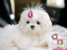 Maltese the dog i am getting soon