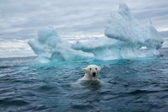 Photograph by @paulsouders | A polar bear swims past melting sea ice surrounding an Inuit hunting village in Nunavut Territory, Canada, in this image from our upcoming April issue of National Geographic. In our story, we share what you need to know—and what can be done—about climate change. Show us how you're fighting climate change with #MyClimateAction and we may feature your story on nationalgeographic.com.