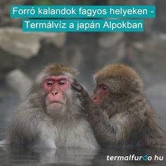 A téli sportok szerelmesei tömegével keresik fel a japán Alpokban Honshu szigetét, ahol a világszínvonalú lejtők mellett termálvíz is várja a síelőket. A Jigokudani Nemzeti Parkban még fürdőző hómajmokkal is találkozhatunk.   Kattints a képre és olvasd el a cikket! Animals, Animales, Animaux, Animal, Animais