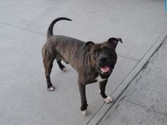 **MURDERED**  BEENY - A1083306    ***SEEMS A LOT OF DOGS GET THROWN ONTO DEATH LIST WHEN ASSESSOR SQUEEZES THEIR PAW - THEY ARE STARTLED AND GROWL AND ITS OFF TO THE GALLOWS!