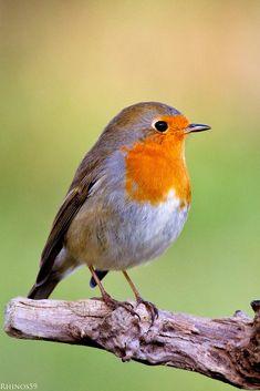 Robin / 500px