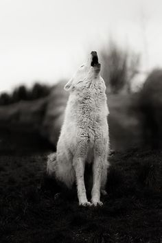 Howling Wolf (by Alex Bruce) Beautiful Creatures, Animals Beautiful, Cute Animals, Wolf Spirit, My Spirit Animal, Tier Wolf, Wolf Hybrid, Howl At The Moon, Wolf Love