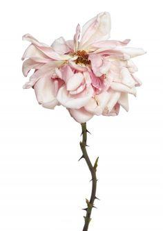 Rachel Levy | DECAYING FLOWERS Dry Flowers, Botanical Flowers, Watercolour Flowers, Floral Watercolor, Ballerina Pink, Macro Flower, Diy Cardboard, Floral Photography, Frames