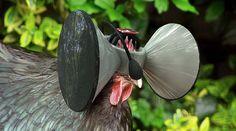 Un casque de réalité virtuelle pour faire croire aux poulets qu'ils sont élevés en plein air