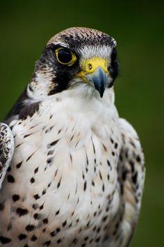 National Geographic Birds of prey Love Birds, Beautiful Birds, Hawk Photos, Peregrine Falcon, Tiny Bird, Vertebrates, Birds Of Prey, Raptors, Bird Feathers