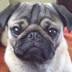 It is time to meet and get to know another gorgeous pug from the social media scene. This week it is the adorable Nigel, brother of Giles. Head on over to the blog to get to know Nigel. http://www.thepugdiary.com/social-pug-profile-nigel-the-pug/